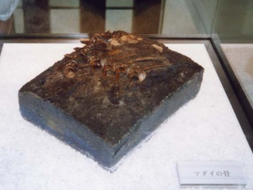 三内丸山遺跡出土のタイ骨