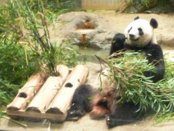 パンダ@上野動物園