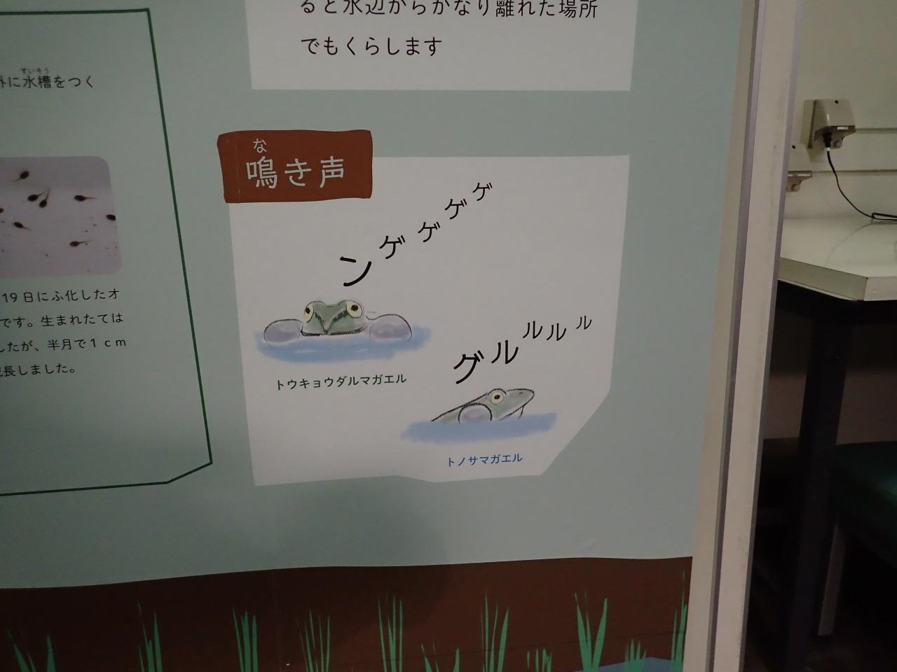 トウキョウダルマガエル@井の頭自然文化園
