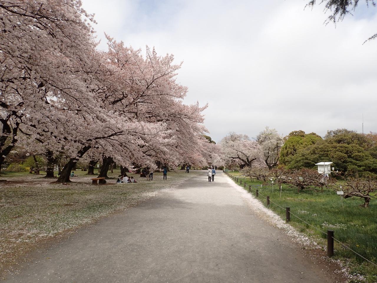 桜@小石川植物園