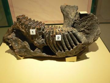 ゾウの歯の化石