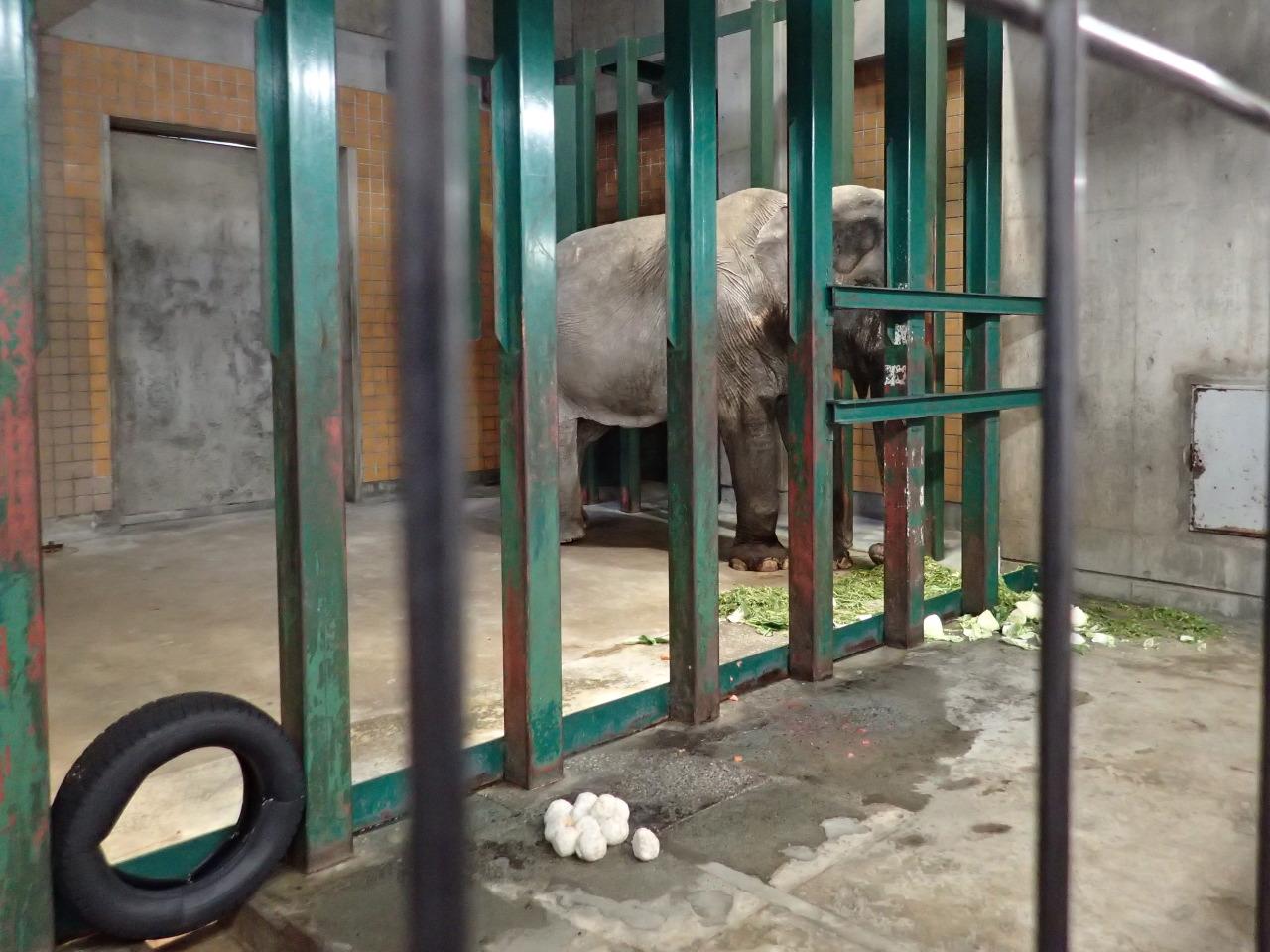 アジアゾウ「はな子」@井の頭自然文化園