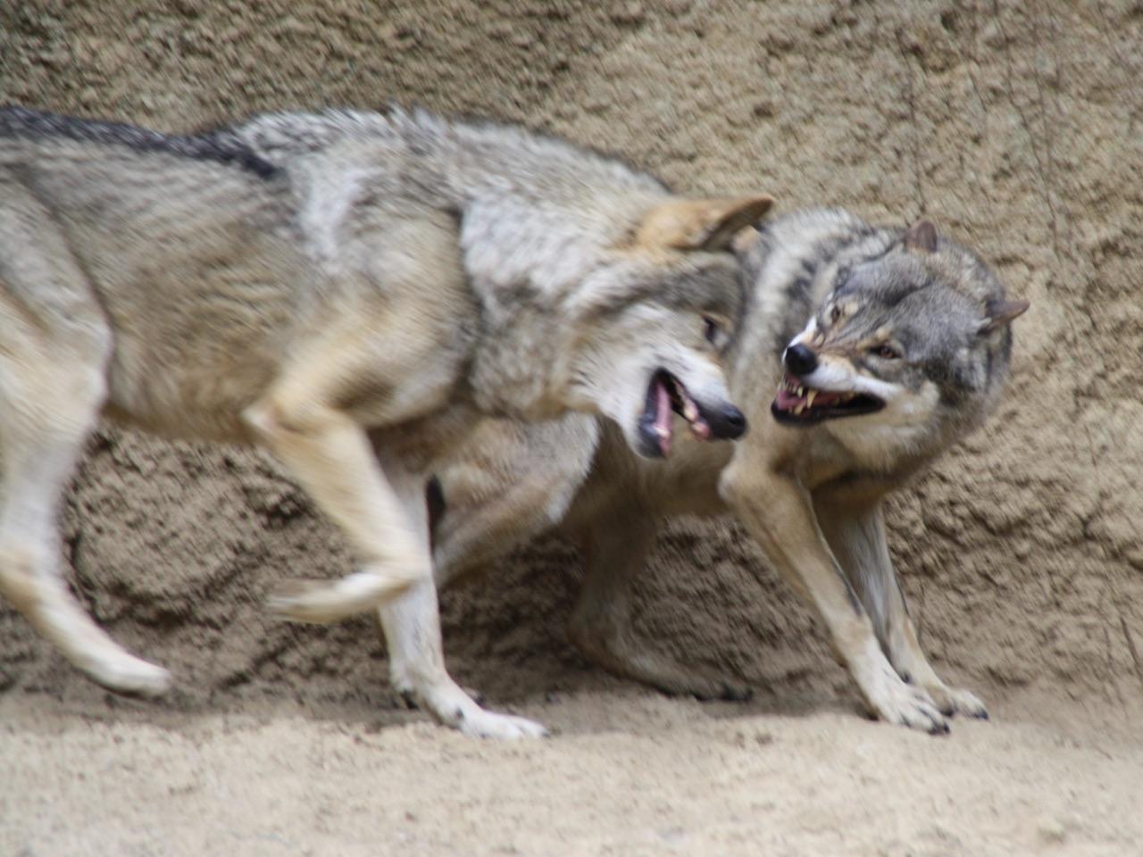 ヨーロッパオオカミ(タイリクオオカミ)