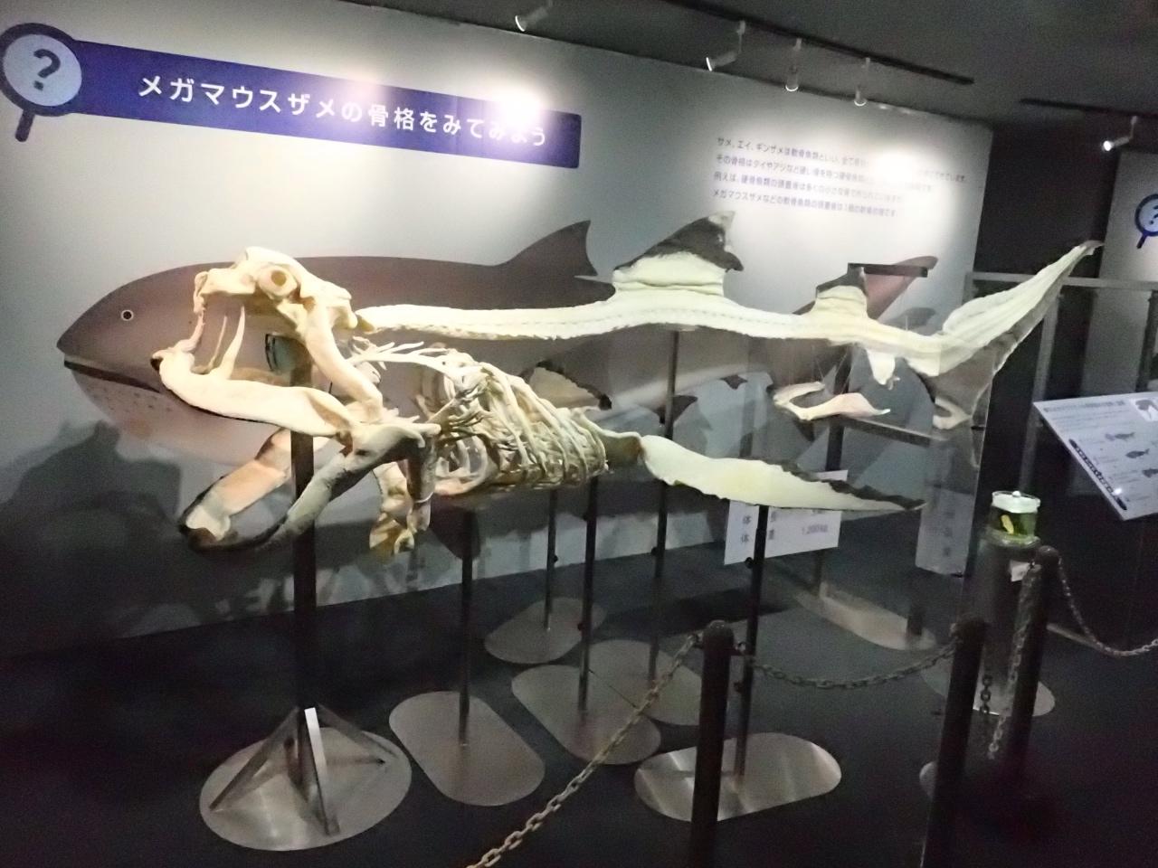 メガマウスの全身骨格標本(鴨川シーワールド)